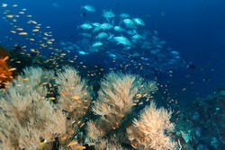 Colourfull of marinelife . Pinnacle . Pulau Weh , Indonesia