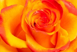 colse-up of yellow and orange rose