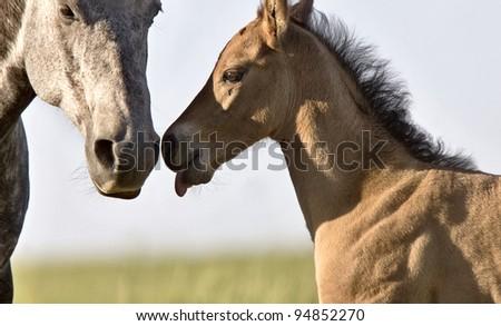 Colt newborn in field Sasktchewan Canada Mother Love