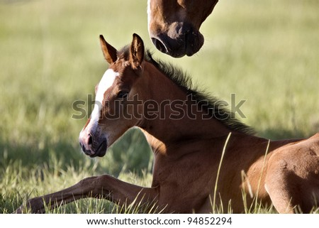 Colt newborn in field Sasktchewan Canada Mother Love
