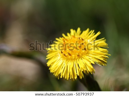 Coltsfoot bloom in spring