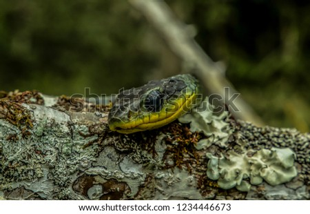 COLUBRIDAE chironius multiventris, Snake found in Brazils Atlantic Rainforest. This tree snake mainly eats frogs. It was photographed it its natural environment.