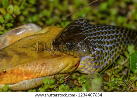 COLUBRIDAE, Erythrolamprus miliaris (PRED.Boana faber) Snake in the Brazilian rainforest eating a frog.