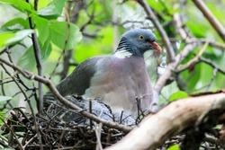 Columba palumbus, Woodpigeon. Bird warms its chicks in the nest.