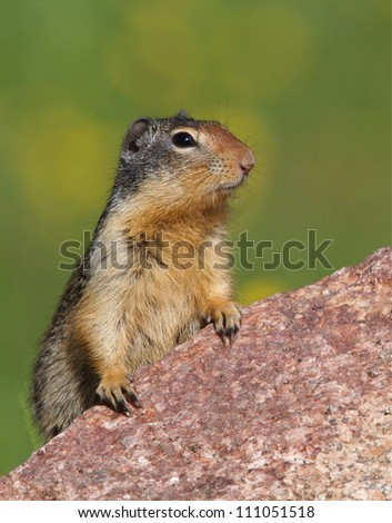 Columbian Ground Squirrel poses on a granite rock, Okanogan National Forest, Washington state; Pacific Northwest wildlife / nature / outdoors