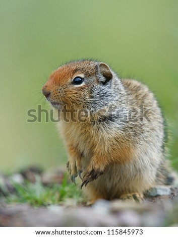 Columbian Ground Squirrel, Urocitellus columbianus, striking a cute pose in prairie habitat, near Missoula, Montana, USA
