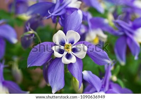 Columbine Aquilegia Caerulea flower. Rocky Mountain Aquilegia