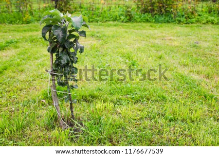 Columnar young apple tree growing