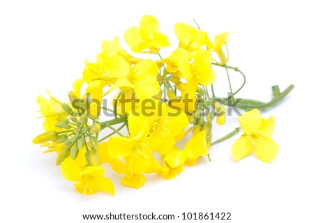 Colza blossom - stock photo