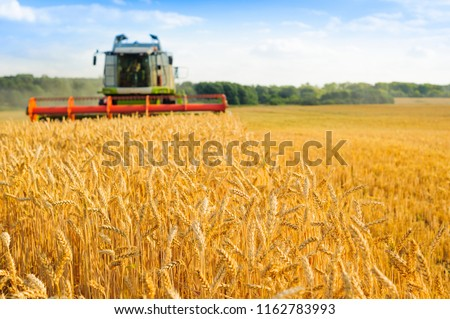 combine harvester harvests golden wheat