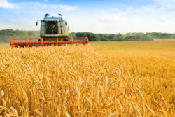 combine harvester harvests golden wheat. agriculture