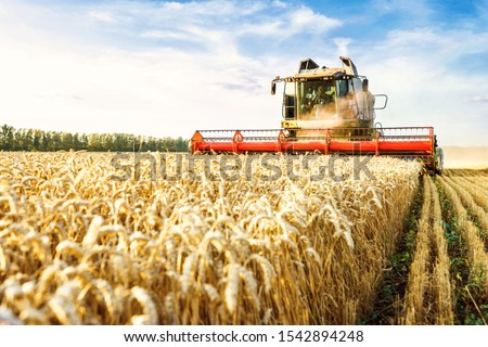 Combine harvester harvests ripe wheat. Ripe ears of gold field on the sunset cloudy orange sky background. . Concept of a rich harvest. Agriculture image.