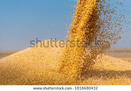 Combine harvester pours corn maize seeds. Сток-фото ©