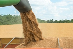 Combine harvester transferring freshly harvested wheat to trailer for transport