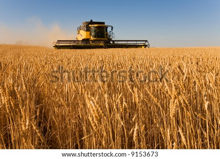Combine harvester working in a wheat field,(focus on front row of wheat)