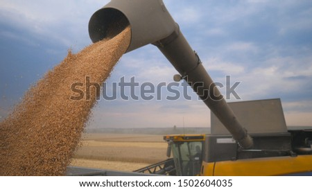Combine loading harvested wheat grains in truck at evening. Yellow dry kernels falling from harvester auger. Beautiful sky at background. Concept of harvesting.