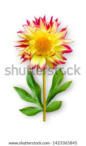 Combined unusual dahlia flower. Red-yellow dahlia with peony leaves. Art object. Object on a white background. Minimalism.