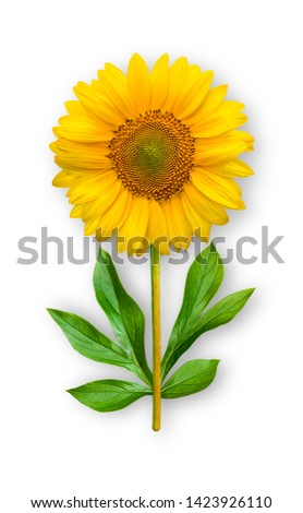 Combined unusual flower of a sunflower. Sunflower with peony leaves. Art object. Object on a white background. Minimalism.