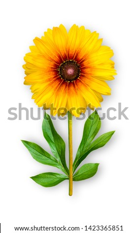 Combined unusual flower of rudbeckia. Yellow rudbeckia with peony leaves. Art object. Object on a white background. Minimalism.