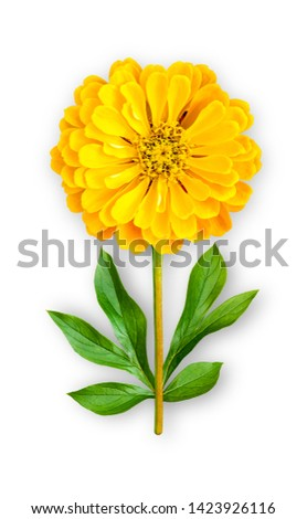 Combined unusual flower of zinnia. Yellow zinnia with peony leaves. Art object. Object on a white background. Minimalism.