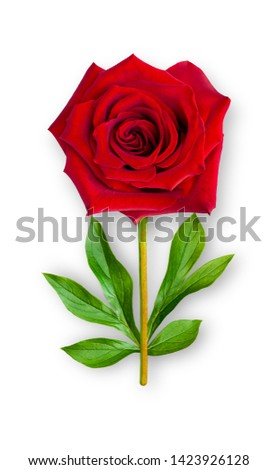 Combined unusual rose flower. Red rose with peony leaves. Art object. Object on a white background. Minimalism.