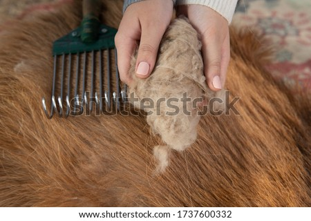 Combing cashmere from a goat Сток-фото ©
