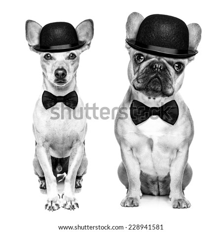 comedian classic couple of dogs wearing a bowler hat and black tie  isolated on white background.In black and white retro look Сток-фото ©