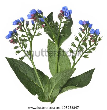 comfrey herb   symphytum...
