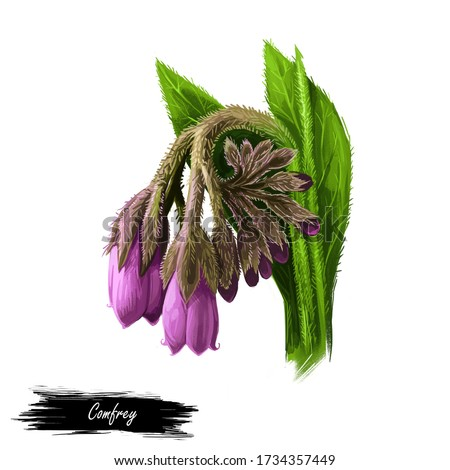 Comfrey or comphrey, blackwort, common comfrey, slippery root digital art illustration. Quaker-comfrey, cultivated boneset, knitbone, consound, and slippery-root used in cosmetics and medicine