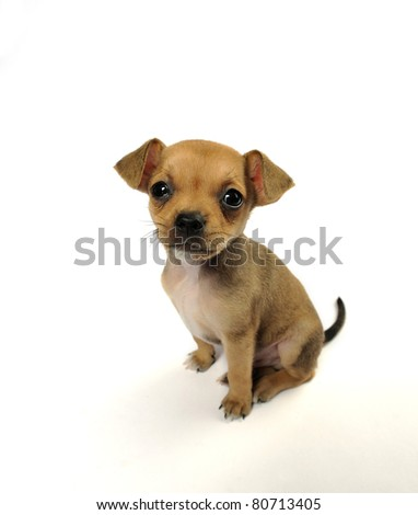 Comic closeup portrait of a sitting chihuahua puppy against white background