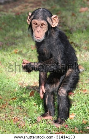 Comical baby Chimpanzee standing on it\'s hind legs
