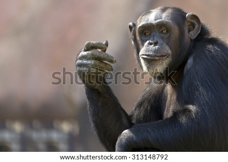 comical chimpanzee making a hand gesture with room for text