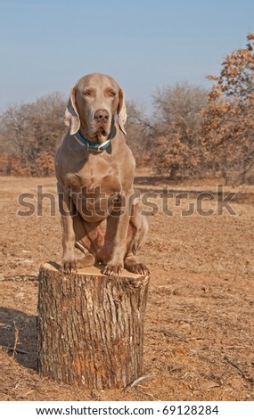 Comical image of a big Weimaraner dog sitting on top of a log like a cat
