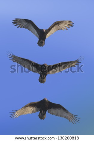 Coming for you Turkey Vulture . Latin name - Cathartes aura. - stock photo