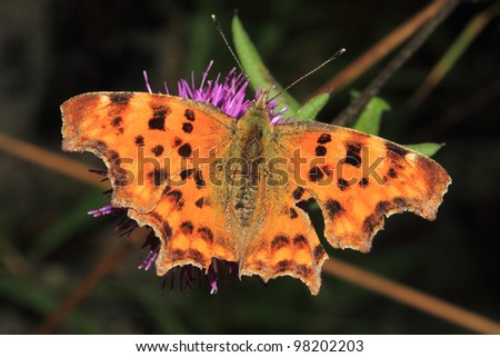 Comma Butterfly Polygonia c-album Family Nymphalidae