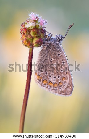 Commen blue butterfly with dew drops - Polyommatus icarus  sleeping on garden burnet