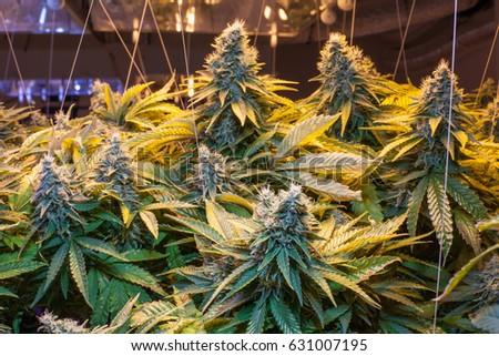 Commercial Cannabis Grow Kush Strain Ez Canvas