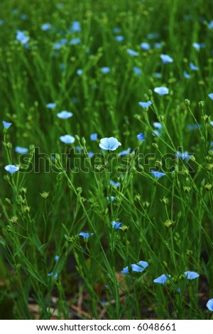 Commercial flax grain crop, single blossom in focus.  Member of the genus Linum in the family Linaceae