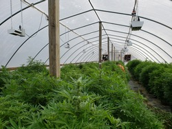 Commercial hemp farming in a greenhouse. Industrial hemp grown to produce CBD oil and other hemp derived products. 2018 Farm Bill legalizes hemp farming. Farmers in hoop house maintaining plants.