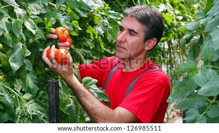 Commercial Production of Fresh Market Tomatoes. Portrait of a farmer with ripe, red tomatoes in his hand. Tomato growing in greenhouse.