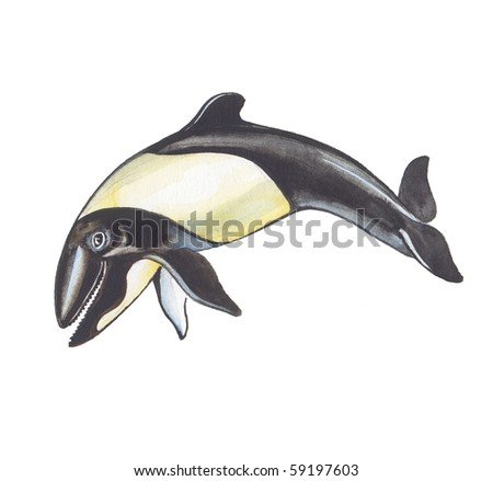 Commerson's Dolphin. The smallest sea mammal in the World.