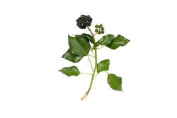 Commom ivy branch with leaves and fruits isolated on white. Hedera helix plant.