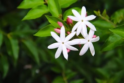 Commom jasmine flowersor jasminum officinale inverleit branch blooming in garden background