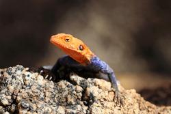 common agama, red-headed rock agama, (Agama agama) - Namibia, Africa