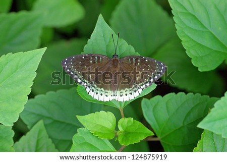 Common Archduke on the green leaf, Thailand