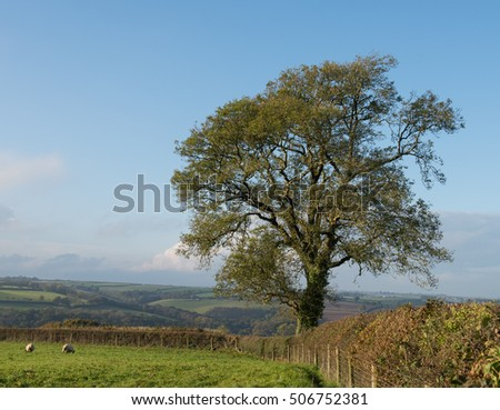 Common Ash Tree (Fraxinus excelsior) in a Hedgerow near the Rural Village of Bridge Reeve in Devon, England, UK stock photo