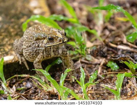 Common Asian Toad or Duttaphrynus melanostictus or asian toad brown or Bufo Bufo. Closeup animal. Toad on the garden path after the rain