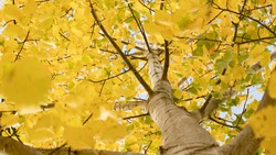 Common aspen or quaking aspen (Populus tremula). Beautiful tree from Europe. Yellow leaves in autumn. Golden tree. Morning lights