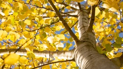 Common aspen or quaking aspen (Populus tremula). Beautiful tree from Europe. Yellow leaves in autumn. Golden tree. Morning lights. Wild forest.  Golden tree. Bottom photo, from below. November