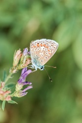 Common Azure Blue butterfly (Polyommatus icarus) on a wild flower